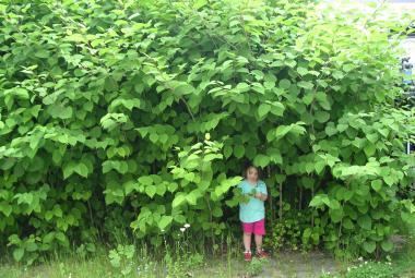 Brněnští vědci odhalili tajemství úspěchu invazivních rostlin. Hlavní roli podle nich hraje výška