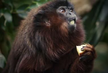 Primáti z Karibiku. Vědci vysvětlili tajemství záhadné opice s chováním lenochoda