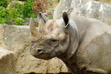 Evropští nosorožci zamíří do Rwandy. Důležitou akci organizuje zoo ve Dvoře Králové