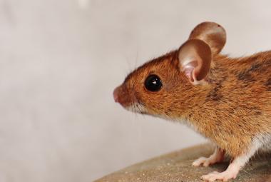 Všechny myši mají společného předka. Jeho původ našli čeští biologové