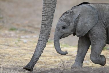 Afričtí sloni se evolučně přizpůsobují pytlákům. Našli si způsob, jak se stát nelovitelnými