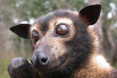 V Austrálii vymřela během dvou dní třetina kaloňů zlatotýlých. Mohla za to vlna veder