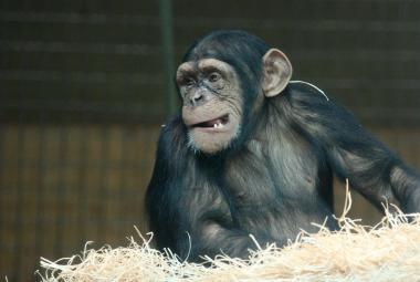 Řeč šimpanzů je překvapivě podobná lidské. Řídí se dvěma stejnými pravidly, tvrdí jazykovědci