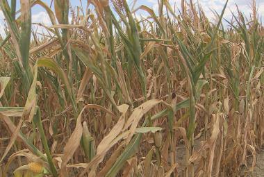 Stát proplácí zemědělcům škody způsobené suchem, chtějí přes dvě miliardy