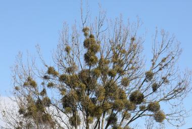Vědci vyvinuli nový postup likvidace jmelí. Cizopasná rostlina ničí stromy hlavně na Moravě