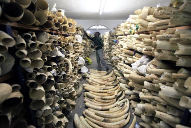 Zimbabwe prodá slonovinu v hodnotě 300 milionů dolarů, nemá peníze na národní parky