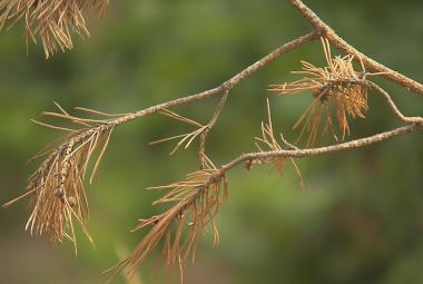 Suchá borovice