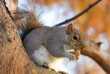Veverky odposlouchávají ptačí komunikaci, prokázal výzkum. Řídí podle ní své chování