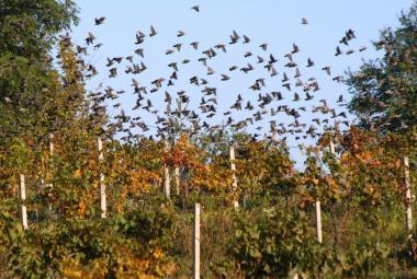 Špačci nám kradou nejlepší hrozny, stěžují si vinaři. Ornitologové ptáky hájí: Jsou zkrátka chytří
