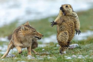 Cenu pro nejlepšího fotografa divoké přírody vyhrál snímek lišky útočící na sviště