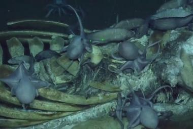 OBRAZEM: Miniponorka se ponořila k mrtvé velrybě. Nafilmovala pozoruhodné věci