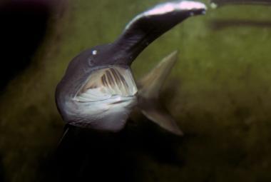 Prvním vyhynulým tvorem roku 2020 je čínský veslonos. Jedna z největších ryb světa