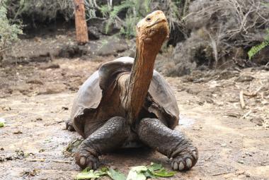 Želví samec Diego pomohl zachránit svůj druh. Zplodil stovky potomků, teď se vrací do volné přírody