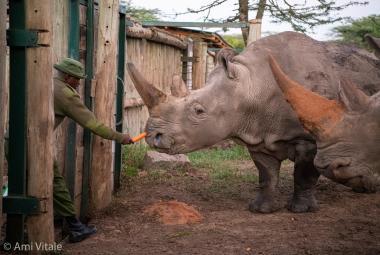 Vědci vytvořili třetí embryo nosorožce bílého severního. V záchraně téměř vyhynulého tvora hrají klíčovou roli Češi