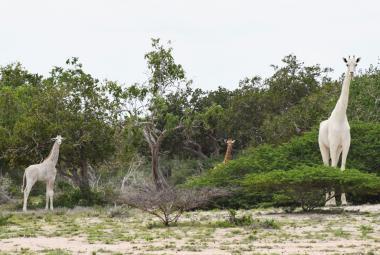 Pytláci zabili v Keni dvě vzácné bílé žirafy. Možná žije už jen jediná na světě