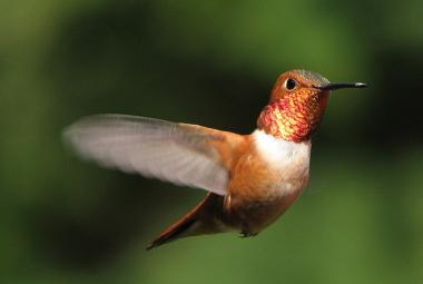 Kolibříci létají ke květinám v konkrétním číselném pořadí, tvrdí studie