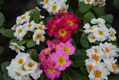 Boj o jarní opylovače začíná už na podzim. Čeští vědci popsali strategii lokálních květin