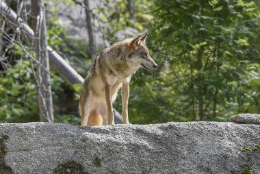 Vědci na Šumavě odchytili vlčici. Budou ji sledovat pomocí obojku