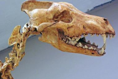 Zlovlci byli originálními predátory bez příbuznosti s vlky, ukázal výzkum