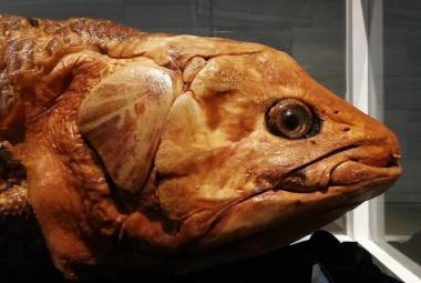 Latimérie podivná není živoucí zkamenělina. Výzkum jejích genů ukázal, jak moc se změnila