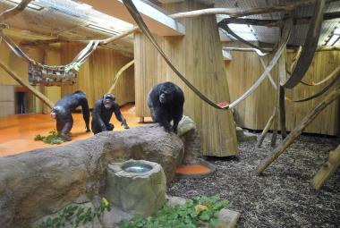 Šimpanzi mají novou zábavu, on-line sledují své kolegy v jiné zoo