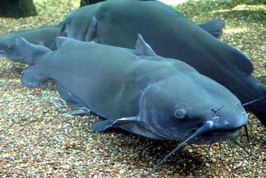 Ryby polykají umělou hmotu už od padesátých let, odhalili vědci