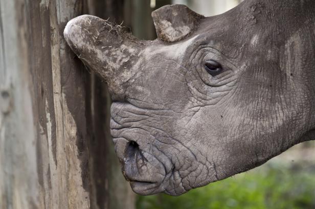 Policista chtěl prodat roh ohroženého nosorožce, tvrdí inspekce. Hrozí mu pět let vězení
