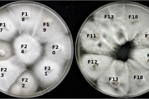 Českobudějovičtí vědci objevili tři extrémní viry uvnitř hub, které žijí u solných jezer