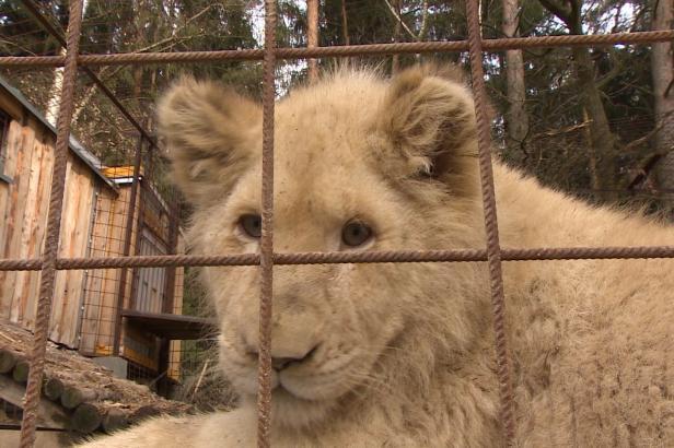Chovatelka si pořídila lvici bez povolení, o zvířeti rozhodnou veterináři