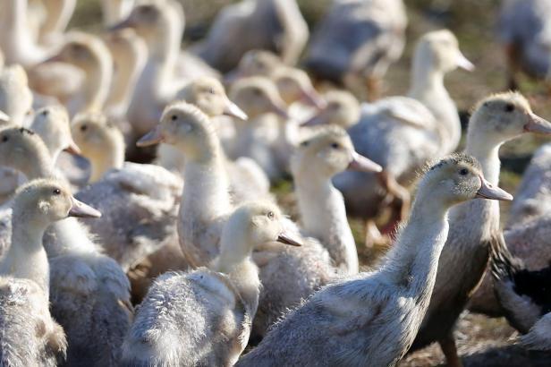 Podzim může opět přinést ptačí chřipku....