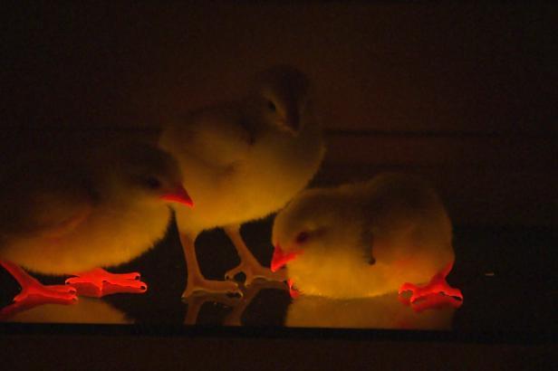 Červené kuře Rudík je genetický převrat. Objev českých vědců může změnit masný průmysl