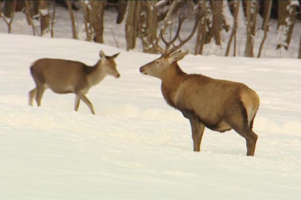 Na Šumavě loni padl rekordní počet jelenů. Lesníci tak chrání stromky, pomáhat jim mají i vlci