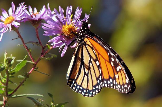 Za jediný rok zřejmě vymřelo 89 procent motýlů monarchů. Jejich populace je na hraně přežití