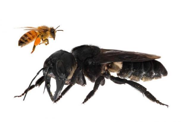 Vědci našli v Indonésii největší včelu světa. Má kusadla jako roháč