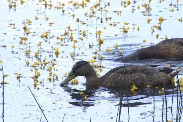 Rybník v Plzni se zbarvil dožluta. Rozkvetla na něm ohrožená masožravá bublinatka