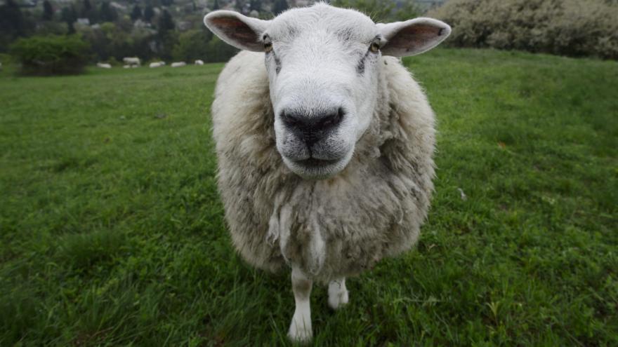 Video Ovce Dolly - první naklonované zvíře
