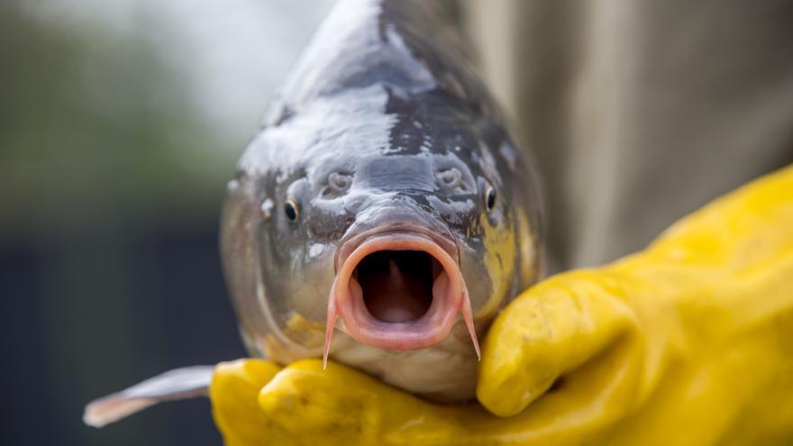 Video Rybáři doplňují revíry