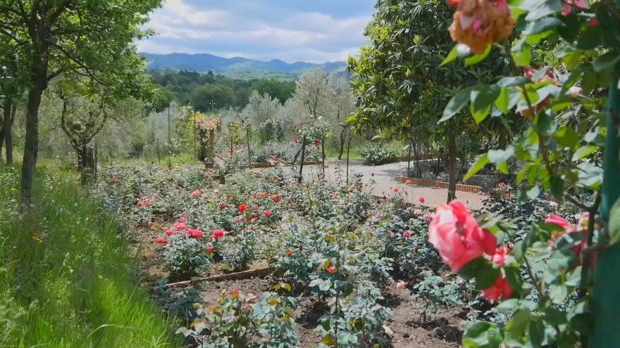 Video Největší růžová zahrada v Toskánsku
