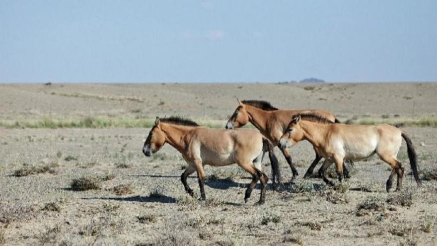 Video Pražská ZOO k odletům koní Převalského do Mongolska
