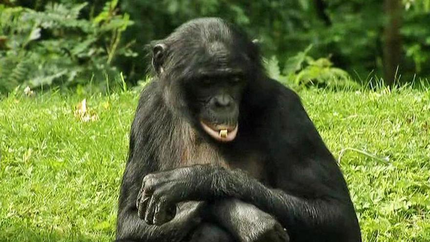Video Šimpanzí samice a její mrtvý syn