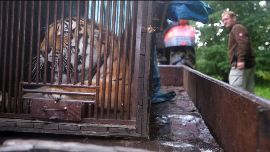 Video Do zlínské zoo dorazl nový tygří samec