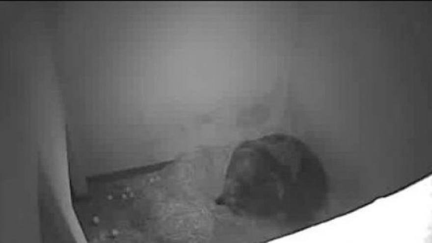 Video Záběry z porodního boxu medvědice Kamčatky
