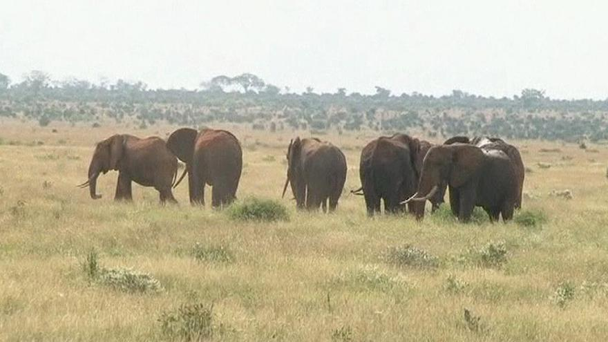 Video Sčítání zvířat v parku Tsavo