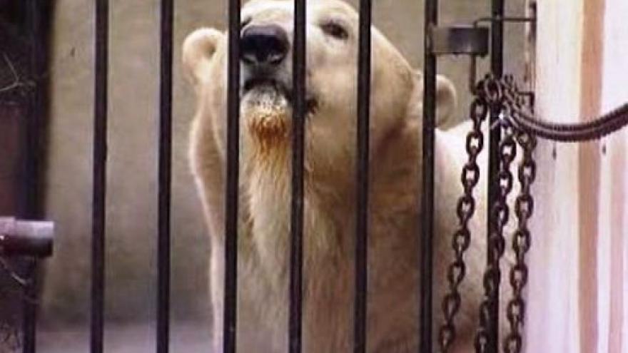Video Medvěd Umca se stěhuje z Brna do Bratislavy