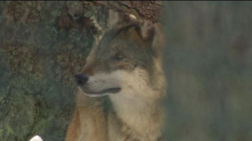Video Na Šumavu se vrací vlci