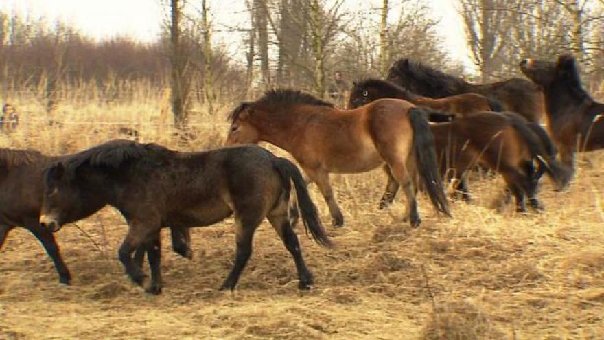 Video Milovicemi se prohání stádo divokých koní