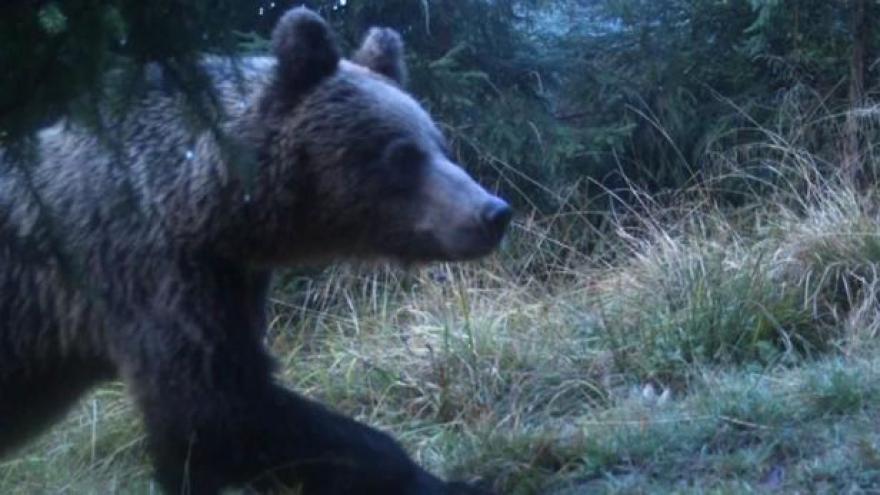 Video F. Šulgan z CHKO Beskydy: Když se medvěd postaví, není to útok