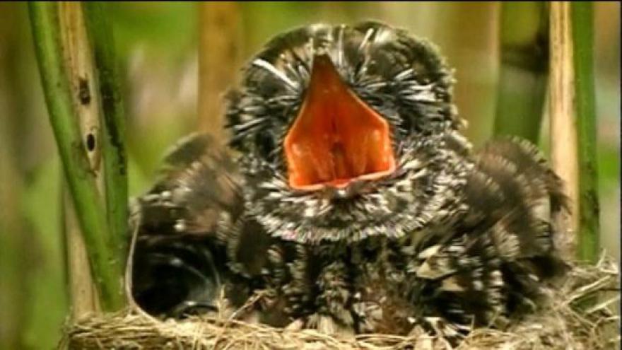 Video I ptáci mají svá nářečí, když po ránu zpívají
