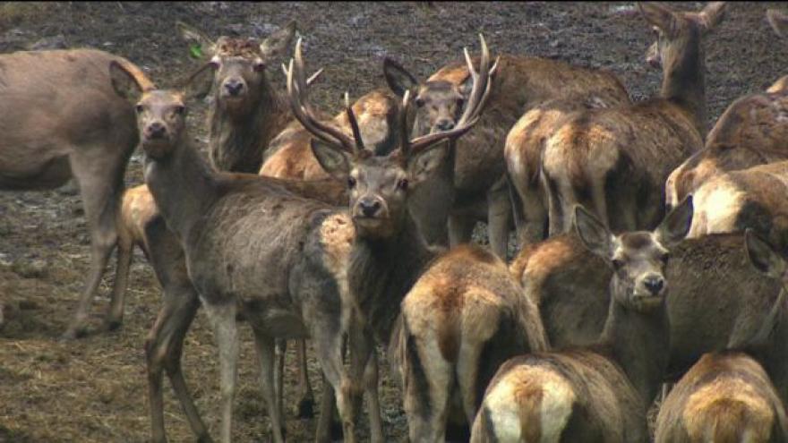Video Na Šumavě se přemnožili jeleni
