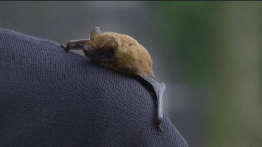 Video Vypouštění netopýrů zpět do přírody
